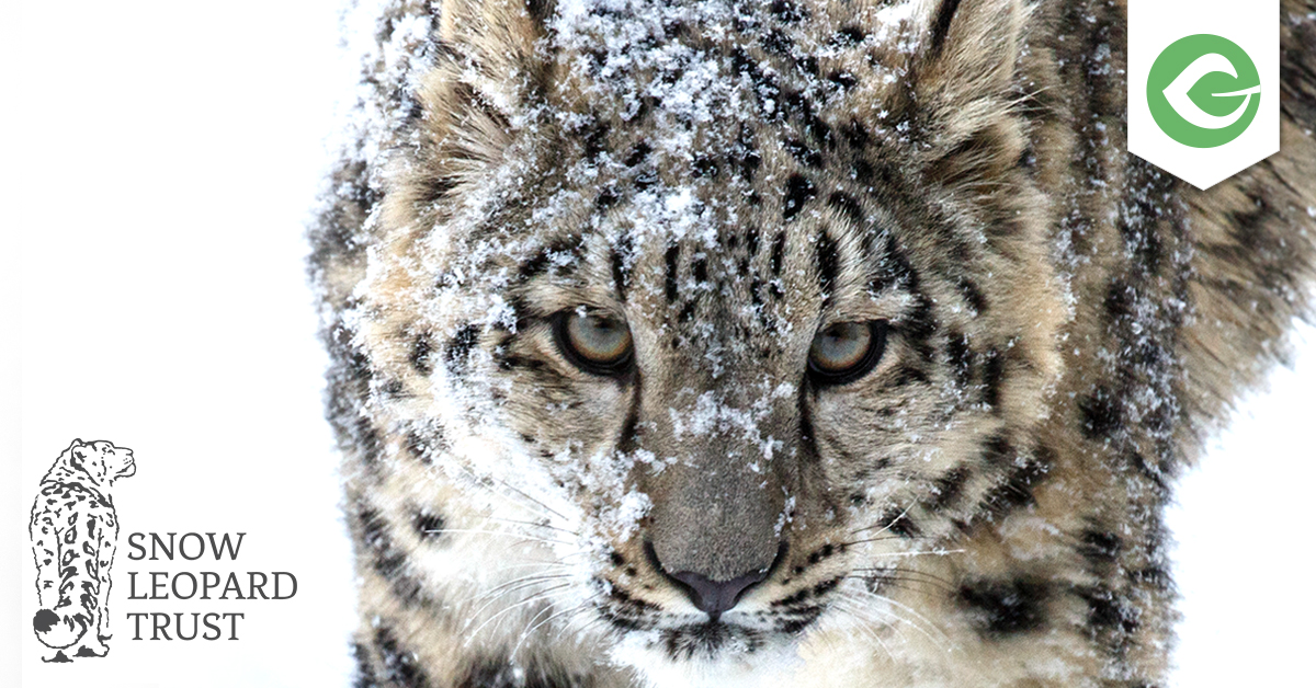 The Snow Leopard Trust is one such cause -- using Give to protect endangered snow leopards.