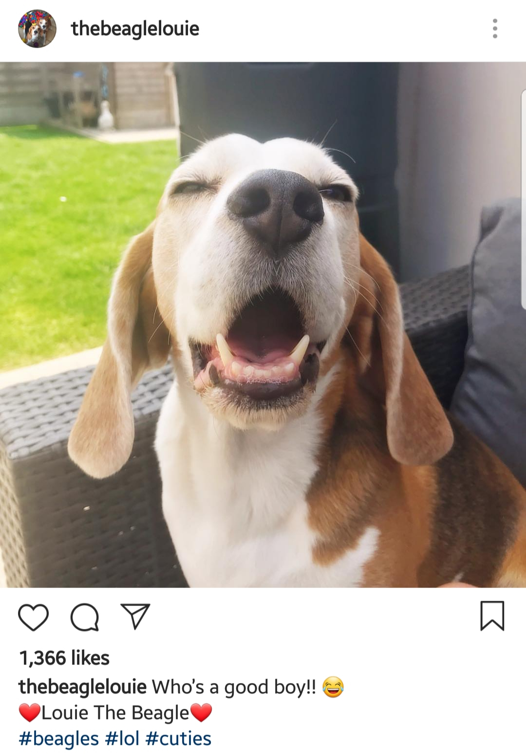 Louie the Beagle Instagram 1
